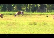 Prova di lavoro due lepri a Calcinato (BS)