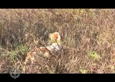Caccia al fagiano e alla lepre in Ungheria