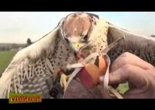 Falconeria – Civiltà Rurale XIII – 14/15