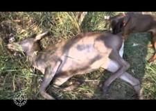 Caccia al cervo e al capriolo in Ungheria