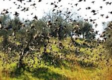 Storno – prelievo in deroga in tutta la Lombardia