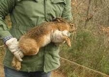 Salvaguardare la lepre attraverso un progetto di gestione mirato.