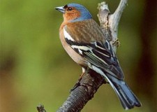 Migrazione: arrivano i primi fringuelli.   Specie …. non cacciabile.