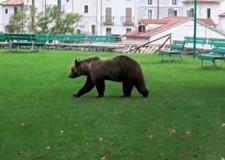 Perchè gli orsi lasciano le montagne e i parchi ?