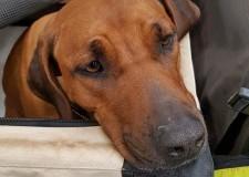 Superdog Show  a Roma. In passerella 3000 cani per 300 razze.