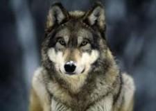 Caccia ai  lupi : in Svizzera si discute sui tempi dell'apertura.