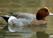 Aviaria-  acquatici vietato l'uso dei richiami vivi. Già a novembre altri casi segnalati in alcuni paesi europei.