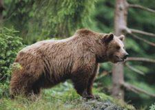 Orsi e lupi sono predatori – In Trentino orsi sloveni.
