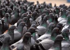Piccioni, storni e corvi: 6 milioni di danni solo in Lombardia