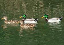 Richiami vivi : nuove disposizioni acquatici U.E.