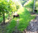 Cinghiali: una delibera seria per la tutela delle coltivazioni agricole
