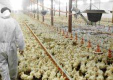 Influenza aviaria: la storia infinita ….bloccata l'immissione di selvaggina da ripopolamento.
