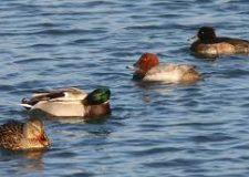 Influenza aviaria : la Regione informa.