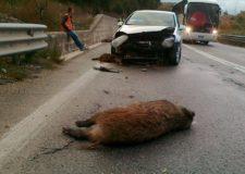 Incidente d'auto provocato da cinghiali