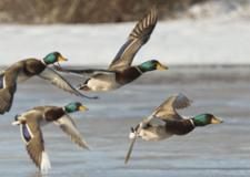 anatre selvatiche  in volo