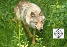 """Emilia Romagna : """"contro gli attacchi dei lupi piani selettivi di abbattimento"""""""