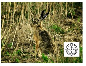 ATC UNICO di BRESCIA  : tutte le catture delle lepri