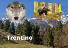 Trentino popolato da orsi e lupi : a rischio le attività ecomomiche